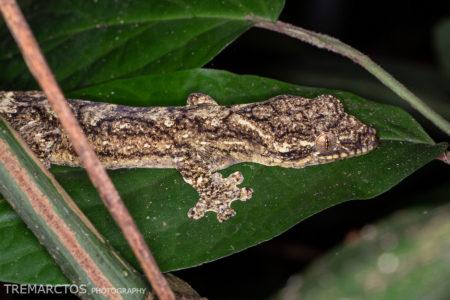 Southern Turniptail Gecko (Thecadactylus solimoensis)