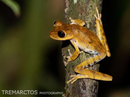 Alfaro's Treefrog (Boana alfaroi)
