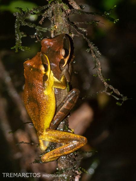 Yasuni Spiny-backed Frog (Osteocephalus yasuni)