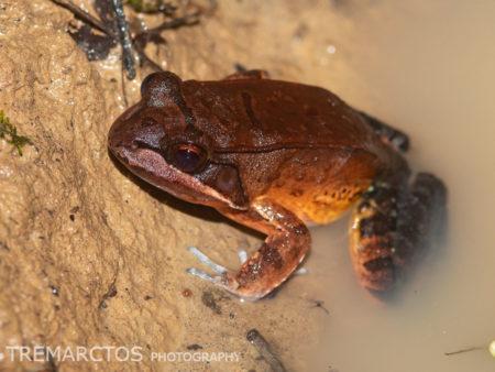 Loreto White-lipped Frog (Leptodactylus rhodomystax)