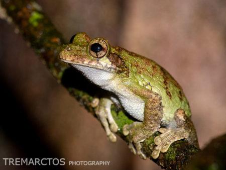 Cannatella's Casqued Treefrog (Osteocephalus cannatellai)