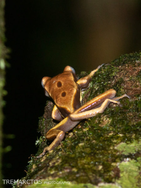 Brown-eyed Tree Frog (Nyctimantis rugiceps)