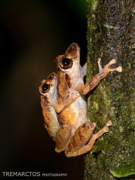 Marty's Rain Frog (Pristimantis martiae)
