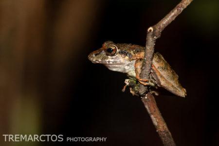 Metallic Robber Frog (Pristimantis lanthanites)