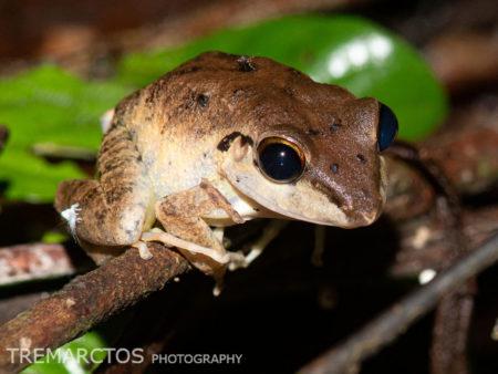Malkin's Rain Frog (Pristimantis malkini)