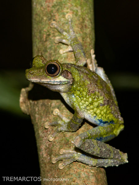 Cannatella's Casqued Treefrog (Osteocephalus cannatellai)