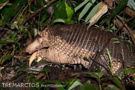 Giant Armadillo (Priodontes maximus)