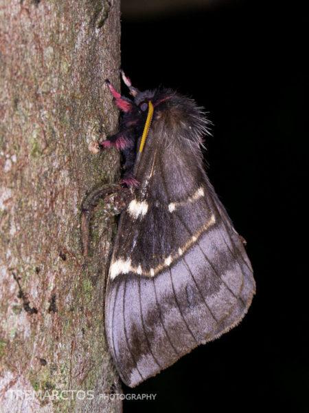 Paradirphia andicola