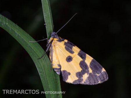 Leopard Moth (Pantherodes sp)
