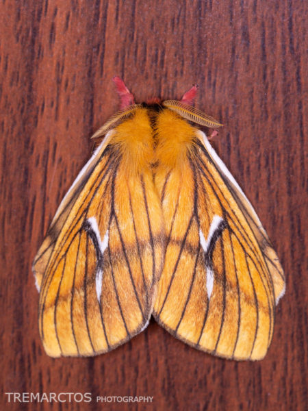 Cerodirphia nadiana