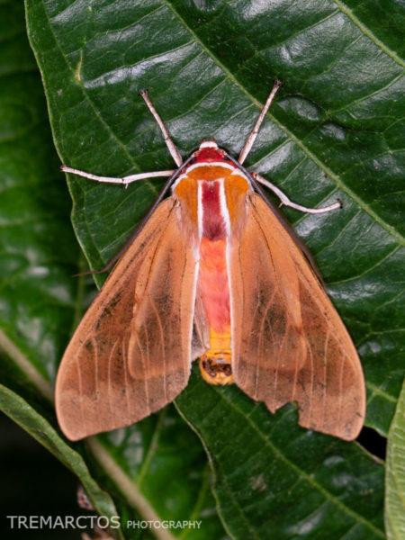Ruby-headed Tiger Moth (Amastus coccinator?)